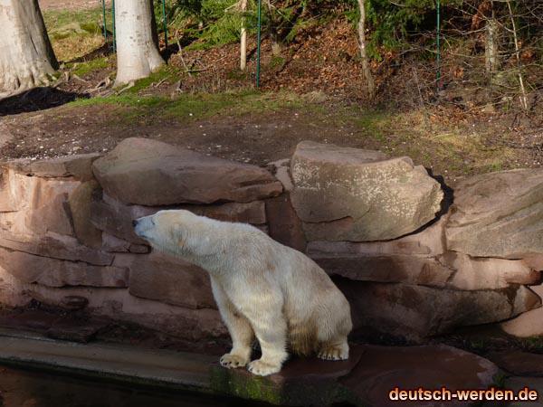 Eis Bär