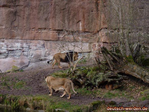 Löwen Familie (aus Süd Afrika)