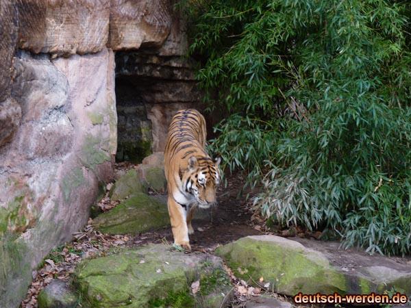 Sybirische Tiger allein