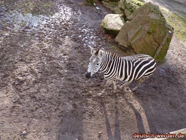 Zebra Jung