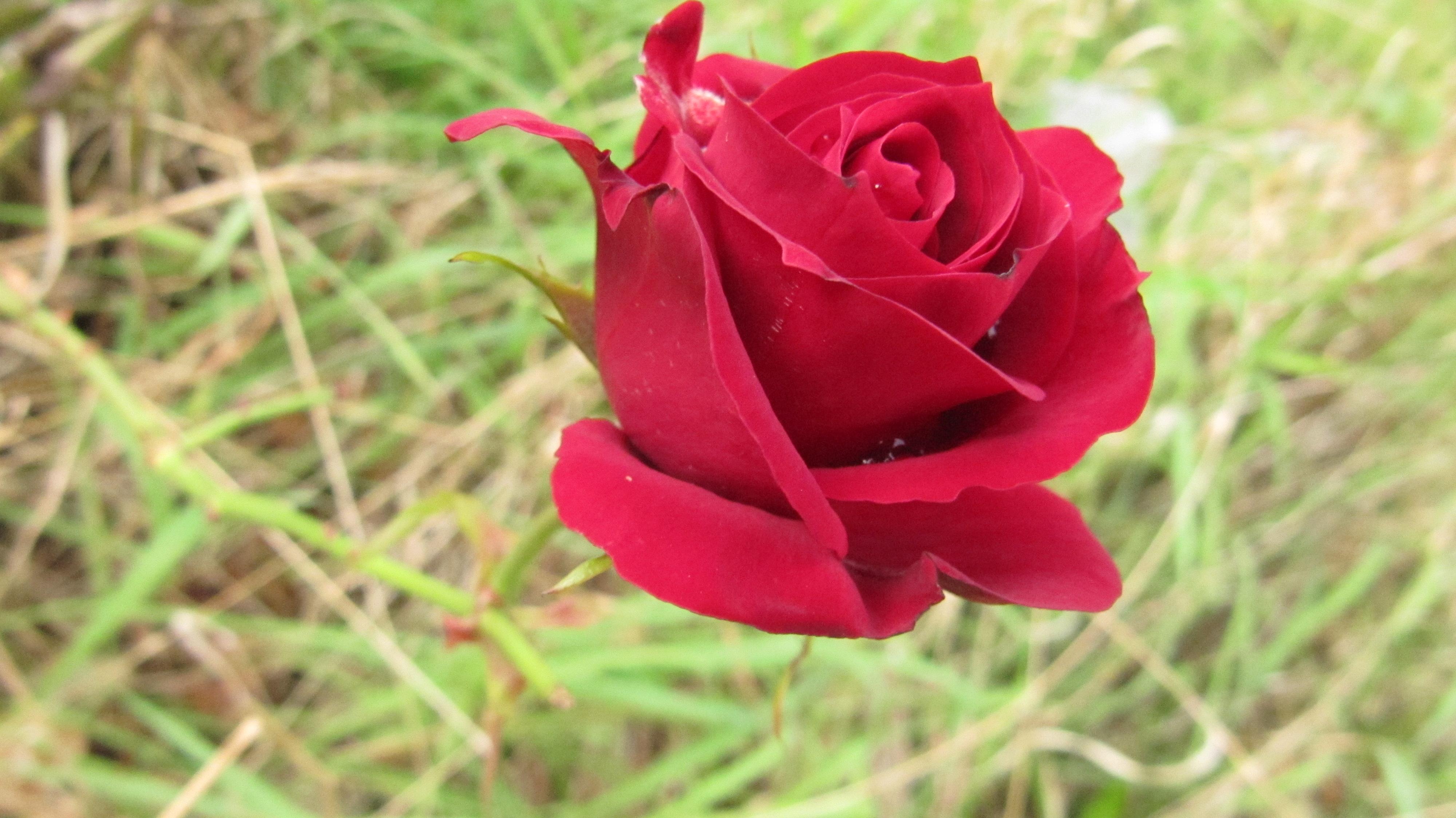 The Rose Deutsch